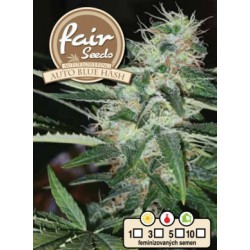 Auto Blue Hash Fair Seeds