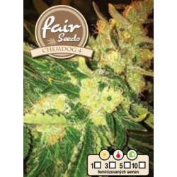 Chemdog 4 Fair Seeds